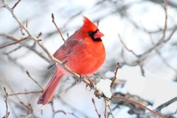 Fotoväggar - Male Cardinal In Snow