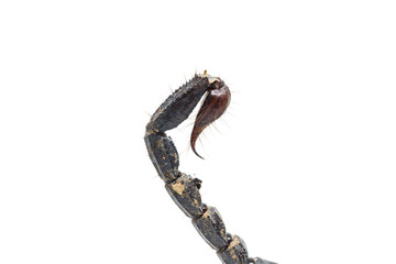 Scorpion tail isolated on white background
