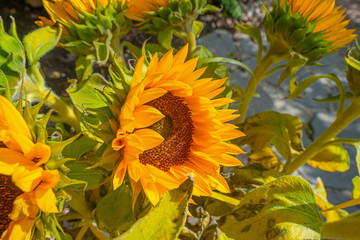 Sunflowers blooming in a garden in summer