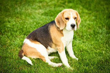 A beagle dog lying on a green grass
