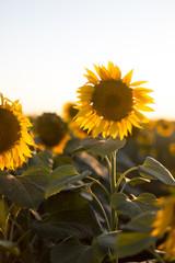 Single sunflower in the field. Vertical shot