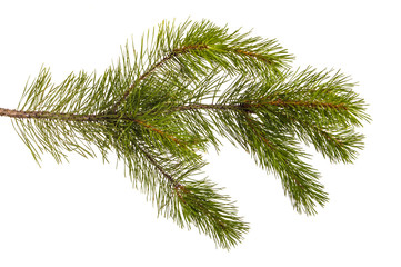A branch of a pine tree. Isolated on white background