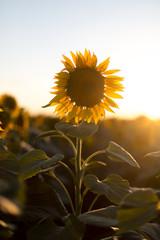 Sonnenblume im Gegenlicht. Nahaufnahme