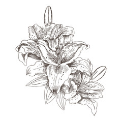 Hand drawn sketch flowers tiger lilies. Flower tiger Lily pencil sketch in vintage style. Vector illustration isolated on white background.