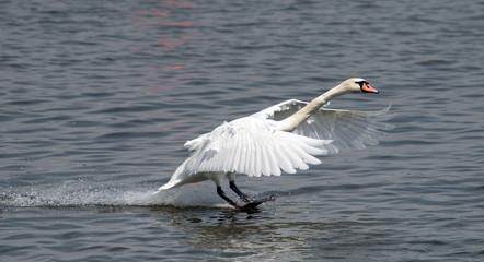 Mute swan (Cygnus olor) landing on the Danube river in Zemun, Belgrade, Serbia.