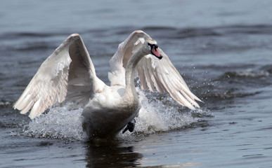 Mute swan (Cygnus olor) landing on the Danube river in Zemun, Belgrade, Serbia.