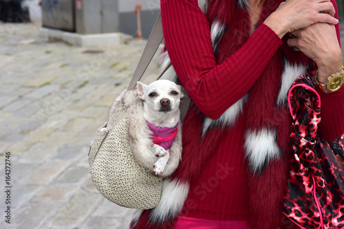 Una donna cammina con il cane di chihuahua dentro la   borsa