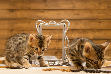 Two striped kitten of Bengal breed play with photo frame