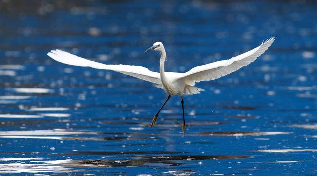 The little egret (Egretta garzetta) flying over the River Danube at Zemun in the Belgrade Serbia.
