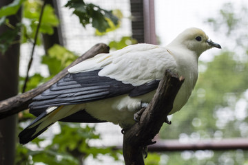 White pigeon sitting on a branch.