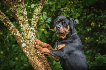 Rottweiler dog standing on the tree