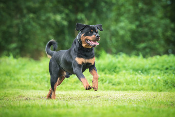 Happy rottweiler dog running in the yard