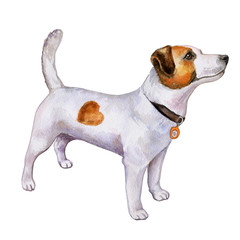 Dog Jack Russell isolated on white background Watercolor. Illustration. Template