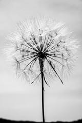 Black and white big dandelion on sky background