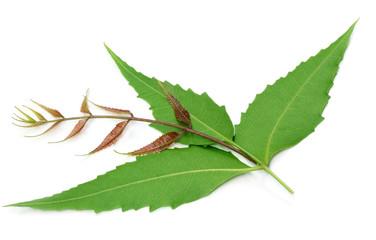 Herbal neem leaves