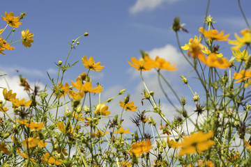 Yellows cosmos flowers on the sky background
