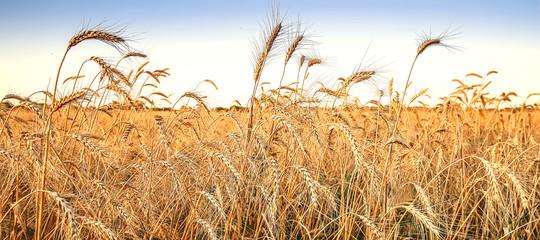 Wheat field. Ears of wheat.