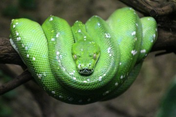 Green Tree Python Curled Up On Branch At Tierpark