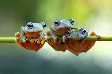Wall Mural - Tree frog, frogs on branch