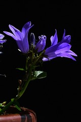 Blue bell shaped flowers of peach-leaved bellflower Campanula persicifolia covered with drops of fresh water, growing from plastic light brown pot, black background