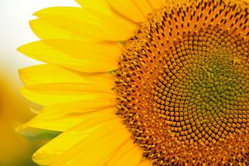 Flower of a sunflower close-up.