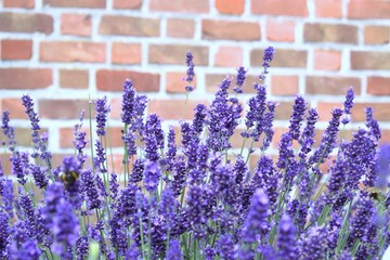 Purple lavender flowers on a background of red bricks.