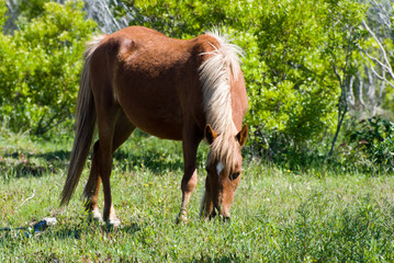 Beautiful wild stallion grazes in the sand dunes of Corolla's Currituck National Wildlife Refuge