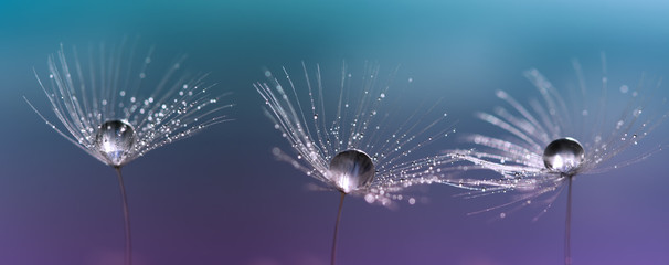Drops on dandelion seeds. Three beautiful macro dandelions.