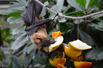 Megabat enjoying his fruit snack