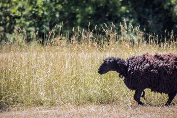 black sheep in a meadow background