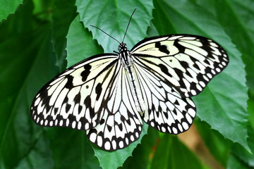 Butterfly paper kite Idea leuconoe Insect