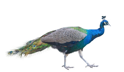 The big peacock