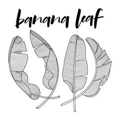 Set of silhouette tropical banana palm leaves green isolated on white background. Vector illustration