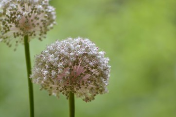 Two wild giant onion stalks with pink flowers/seeds on the natural green background. Art/decorative horizontal photo.