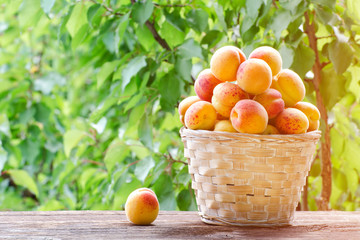 Full basket of apricots in the garden on a background of greenery, sunlight