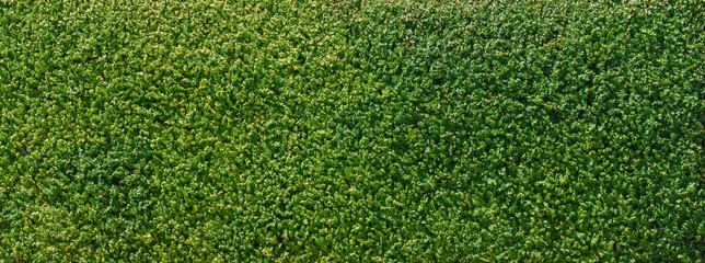 Background of green fence or wall made of climber plants.