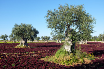 Olive trees and fresh red salad plantation