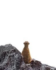 Backside of Meerkat Looking on White Background