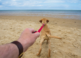 A point of view image of a yellow Labrador Retriever dog or puppy pulling hard on it's owner's leash and outstretched arm as it runs towards the ocean on a deserted sandy beach.
