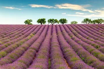 Poster Crimson Lavender field near Valensole, Provence, France