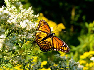 Butterfly, Kansas City, MO