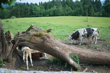 Breeding bull with Calves