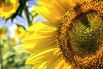 Summer background, bright yellow sunflower over blue sky.