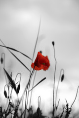 Poppy in a field with selective colour