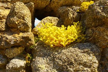 Goldmoss Stonecrop