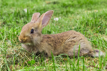 young grey rabbit is lying on grass