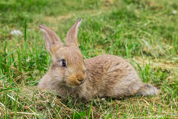 young grey rabbit