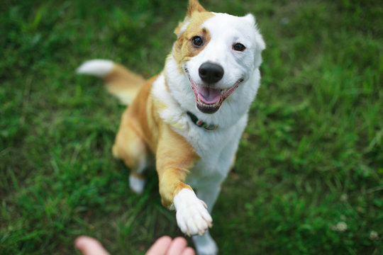 Friendly smart dog giving his paw close up