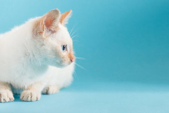 Thai cat on blue background. Profile view