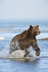 Grizzly Bear (Ursus arctos horribilis) fishing for salmon (silver or 'coho' salmon), Lake Clark NP, Cook Inlet, Alaska